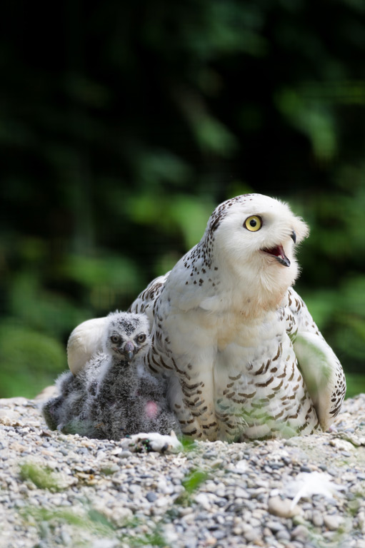 Basel Zoo - News - What's new at Basel Zoo - Baby snowy owls