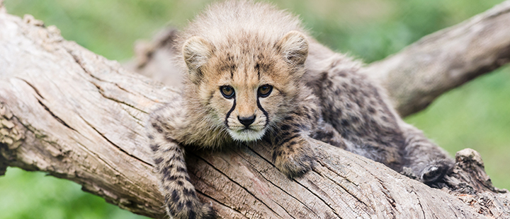 New arrivals for the cheetahs