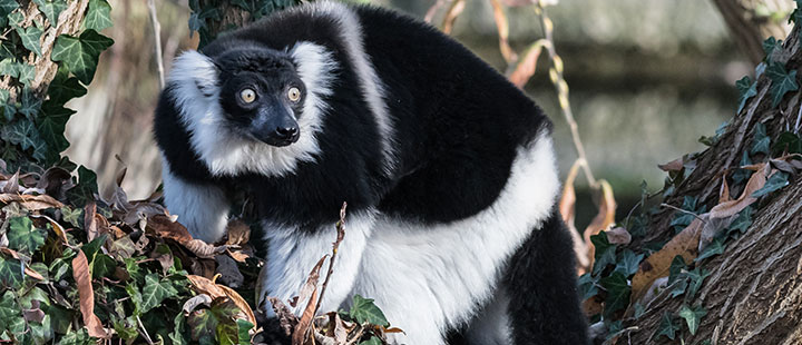 Black-and-white ruffed lemurs – a new primate species at Basel Zoo