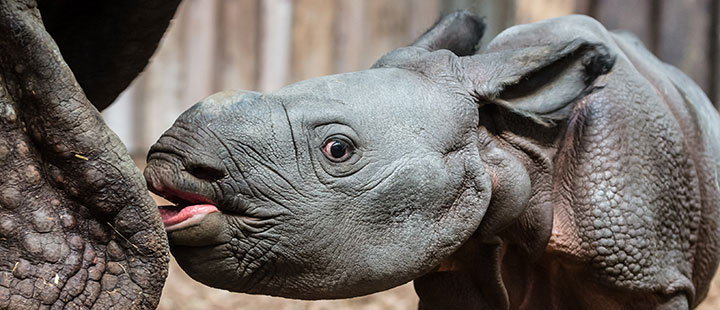 Offspring again at long last for the Indian rhinoceroses