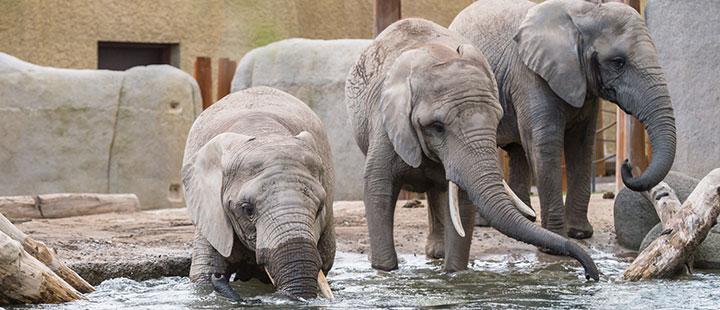 Zoo Basel eröffnet die neue Elefantenanlage ‹Tembea›