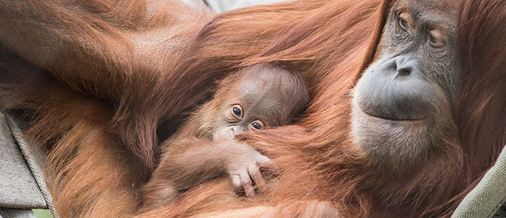 Orang-Utan-Nachwuchs im Zoo Basel