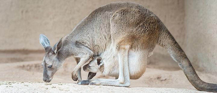 Zweimal Geburtstag – Nachwuchs bei den Kängurus