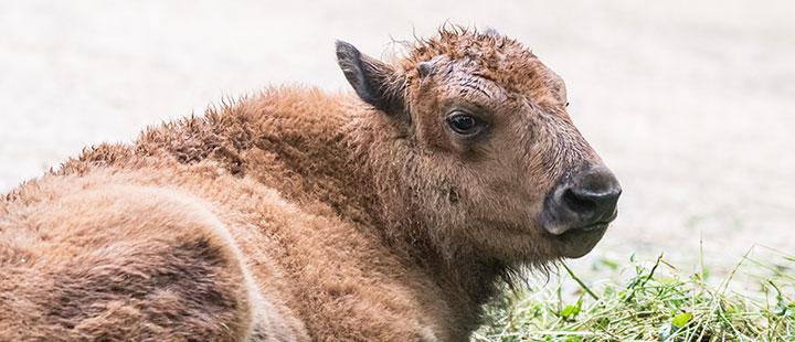 Nachwuchs bei den zotteligen Bisons