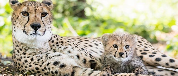 Nachwuchs bei den Geparden