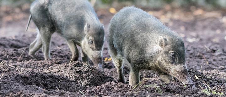 Neu in der Panzernashorn-WG: Visayas-Pustelschweine