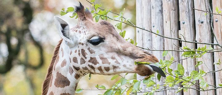 Giraffen: so bleiben sie gesund