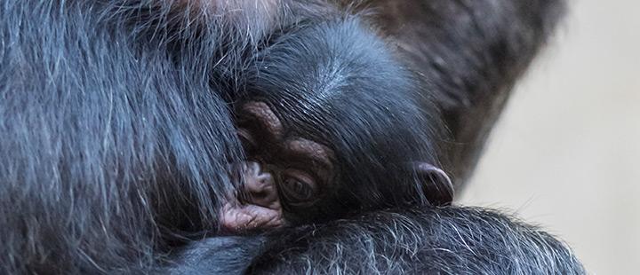 Späte Mutterschaft  bei den Schimpansen