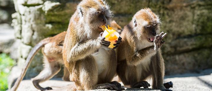 Hitzestrategien: So wappnen sich Nashorn, Javaneraffe & Co