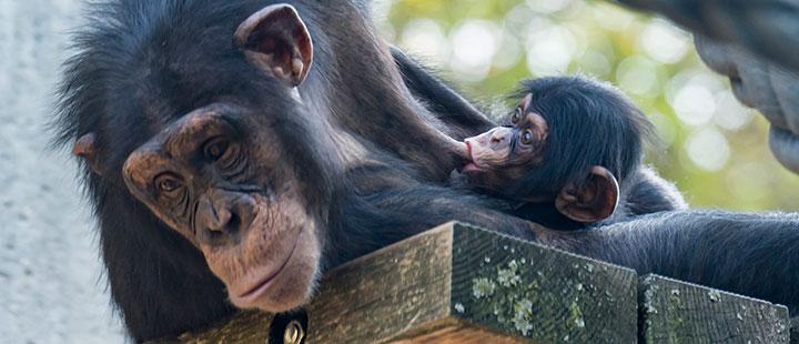 Nachwuchs in der Schimpansen-Grossfamilie