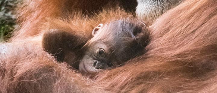 Nachwuchs bei den Orang-Utans - Das vielfältige Familienleben der Primaten