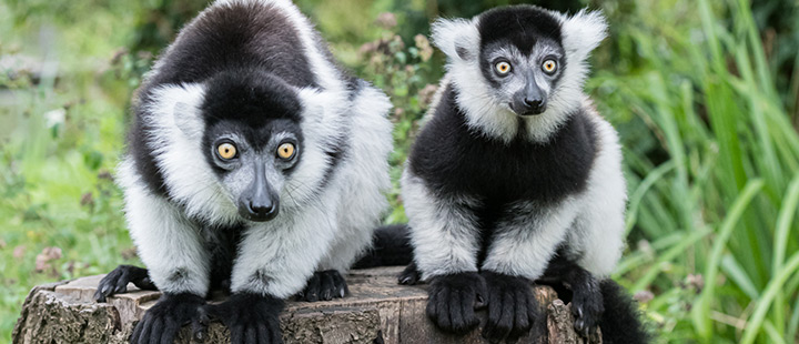 Barking, screaming and howling – A new group of black-and-white ruffed lemurs is causing a racket on the island