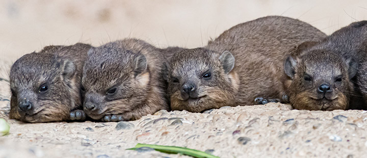 A decade and a half of waiting: new arrivals for the rock hyraxes
