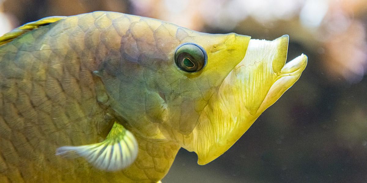 Stülpmaullippfisch – der mit der grossen Klappe