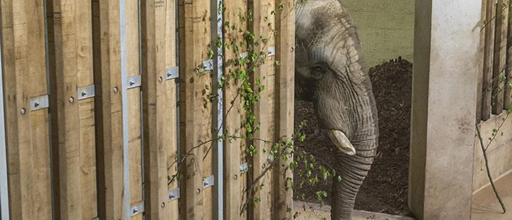 Arrivée d'un nouvel éléphant mâle au Zoo de Bâle