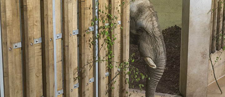Neuer Elefantenbulle im Zoo Basel angekommen