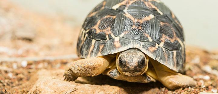 So gross wie ein Golfball – erste junge Strahlenschildkröte im Zoo Basel