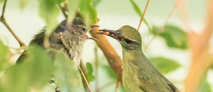 Seltener Nachwuchs bei den Türkisnaschvögeln