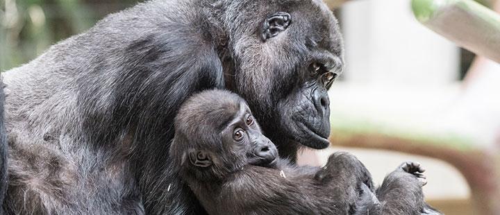 Décès de Goma, la célèbre femelle gorille du Zoo de Bâle