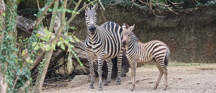 Zuwachs in der Zebragruppe