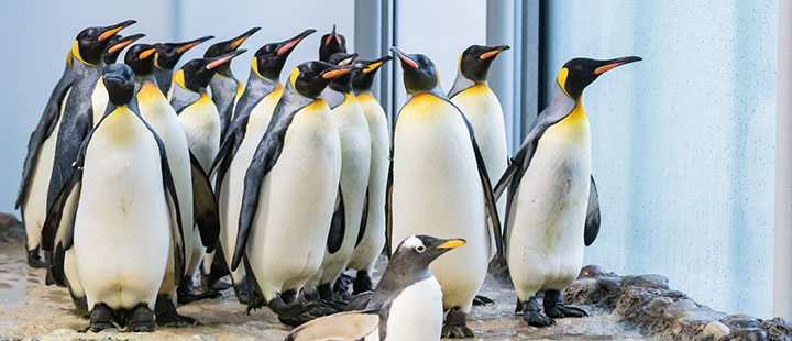 The penguins are back – new enclosure for the gentoo and king penguins