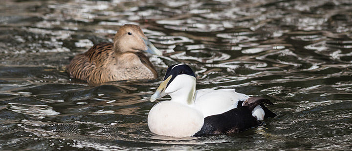 Spring has sprung for the common eider ducks