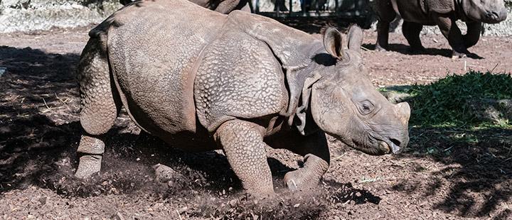 Arrivée d'un nouveau rhinocéros au Zoo de Bâle