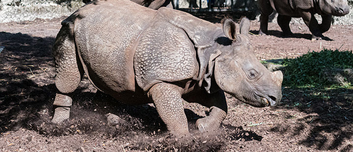 Neues Nashorn im Zoo Basel angekommen