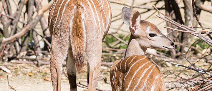 Carnet rose chez les petits koudous du Zoo de Bâle