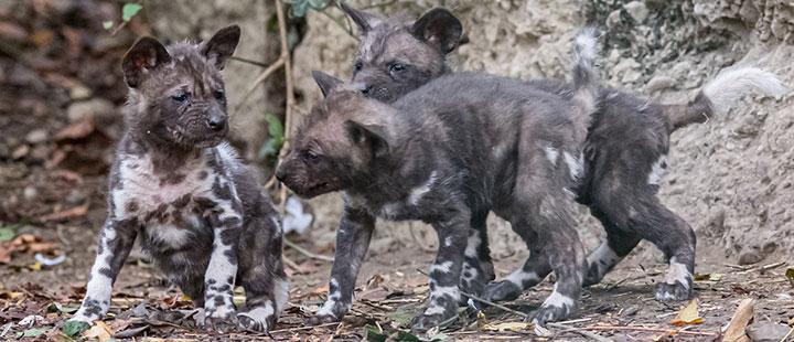 Huit naissances chez les chiens sauvages d'Afrique