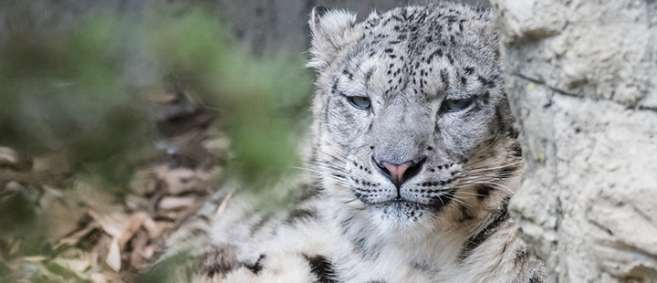 Love takes time: new female snow leopard in Basel Zoo