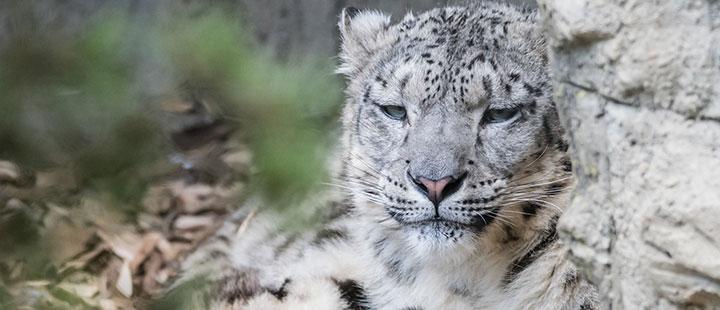 Liebe braucht Zeit: Neues Schneeleopardenweibchen im Zoo Basel