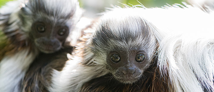 New arrivals for the Latin American monkeys at Basel Zoo