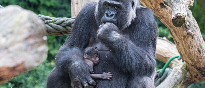 Nachwuchs bei den Gorillas