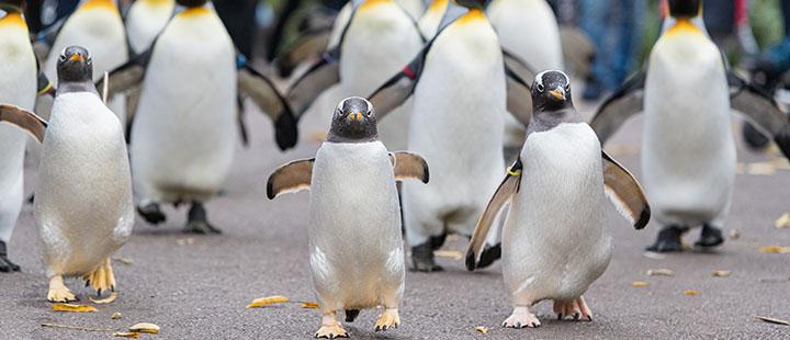 Der Pinguinspaziergang lädt zum Laufen ein