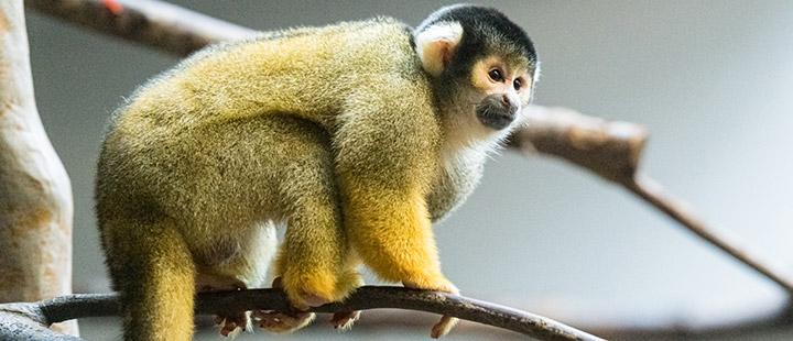 Un nouveau singe-écureuil mâle au Zoo de Bâle