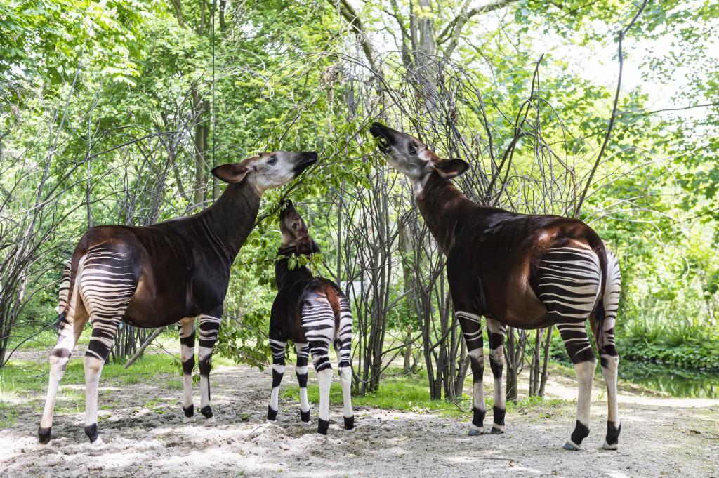 Okapi, Hewan Menawan yang Hidup di Afrika